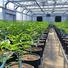 marijuanas strains  greenhouse.jpg