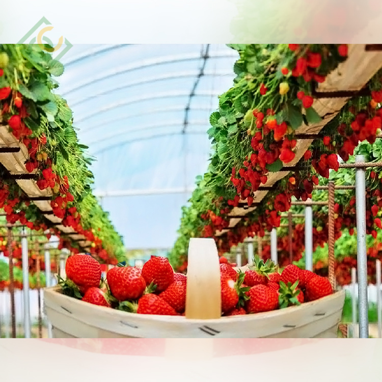 Strawberry  Greenhouse