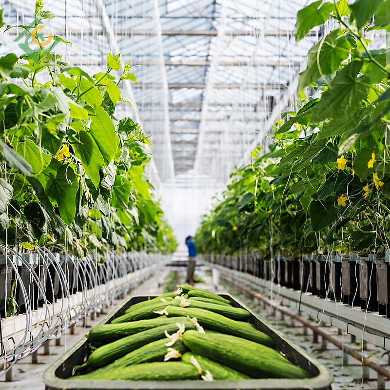 Cucumber Greenhouse